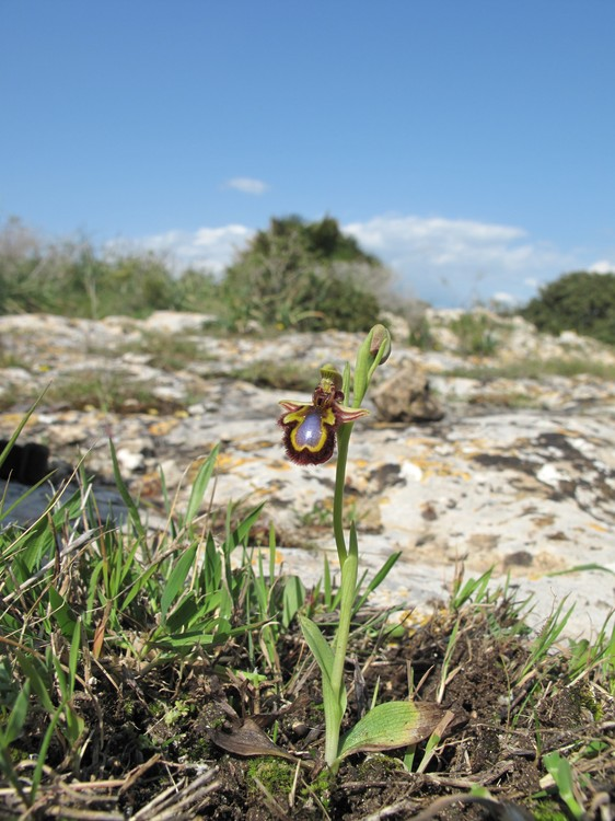 Ophrys ciliata