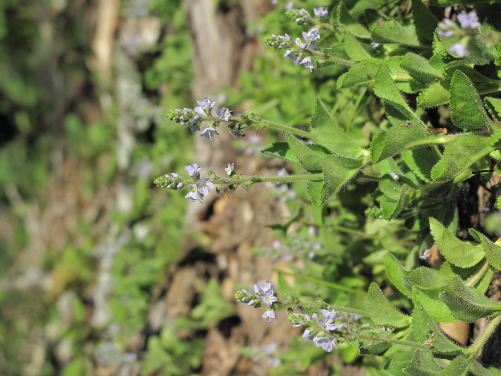 Veronica officinalis